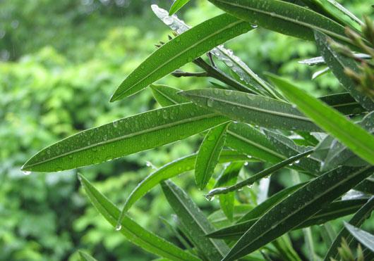 雨にぬれる夾竹桃