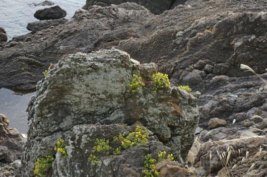 ススキと岩礁