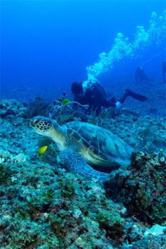 アオウミガメ(与那国島)