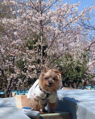 今年の桜とクッキーH24バージョン