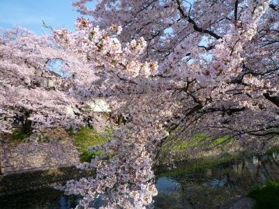 岩倉の千本桜♪