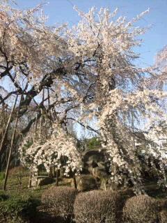 しだれ桜1 110403