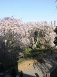 しだれ桜3 110403