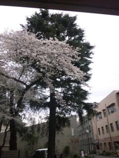 学校の桜 2011.4.8