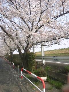 1多摩川沿い桜