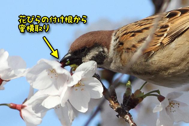 20120408sakurasuzume03.jpg