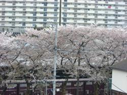 東京の桜411