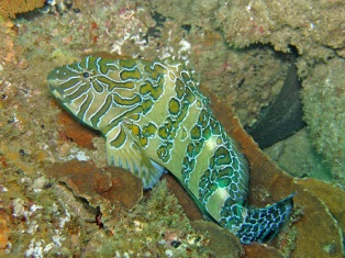 gianthawkfish.jpg