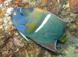 kingangekfish.jpg