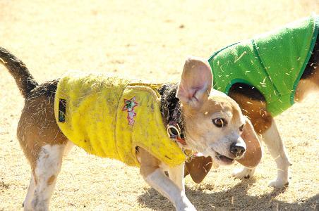 100207-25cooky of shiba dog