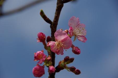 100214-09kawadu zakura