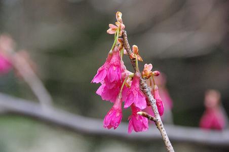 100227-16寒緋桜