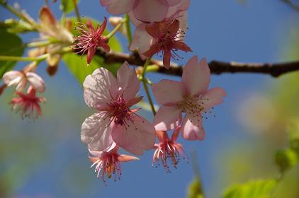 100314-01kawadu sakura