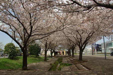 100411-22sakura by shiyakusho