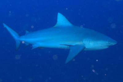 チュンポン、サメ