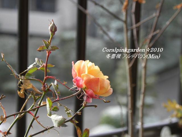冬薔薇アルデバラン