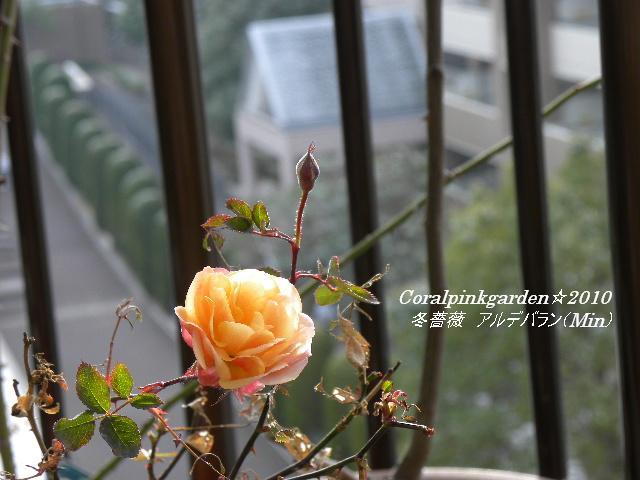 冬薔薇アルデバラン4