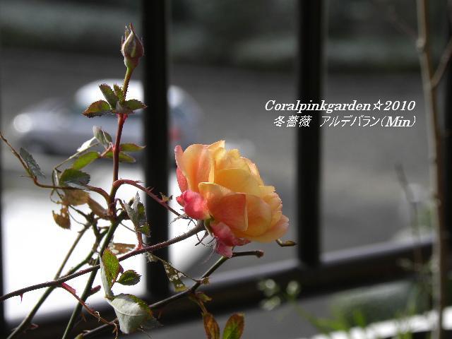 冬薔薇アルデバラン2