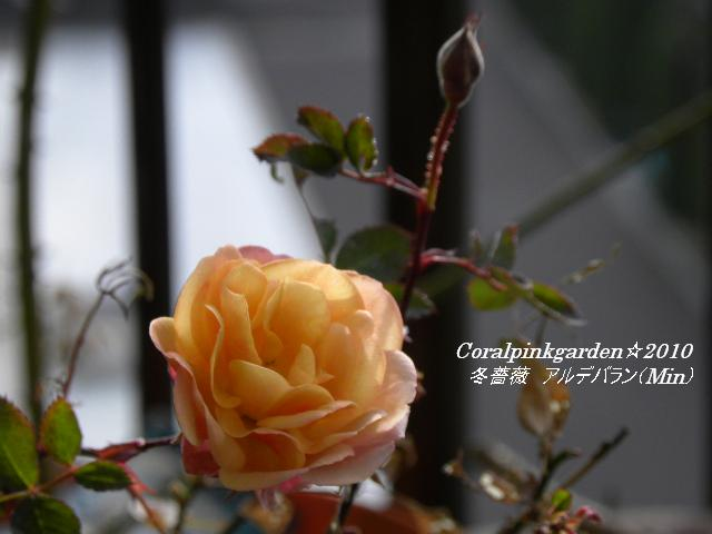 冬薔薇アルデバラン3