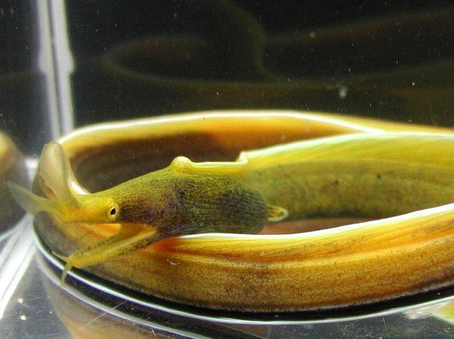 Yellow Ribon eel
