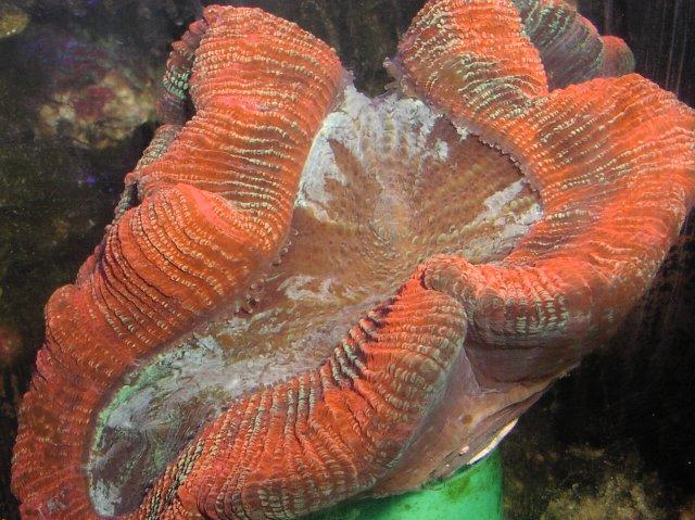 Trachyphyllia geaffroyi with flash