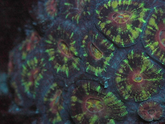 Acanthastrea lordhowensis Green Tiger UV LED