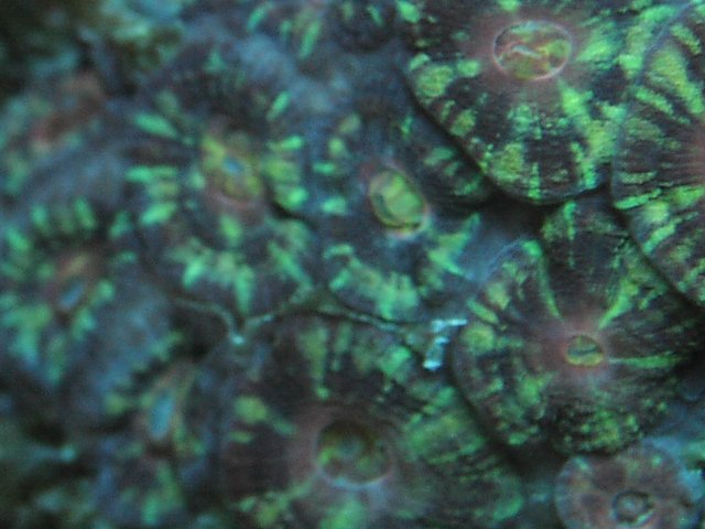 Acanthastrea lordhowensis Green Tiger BB450