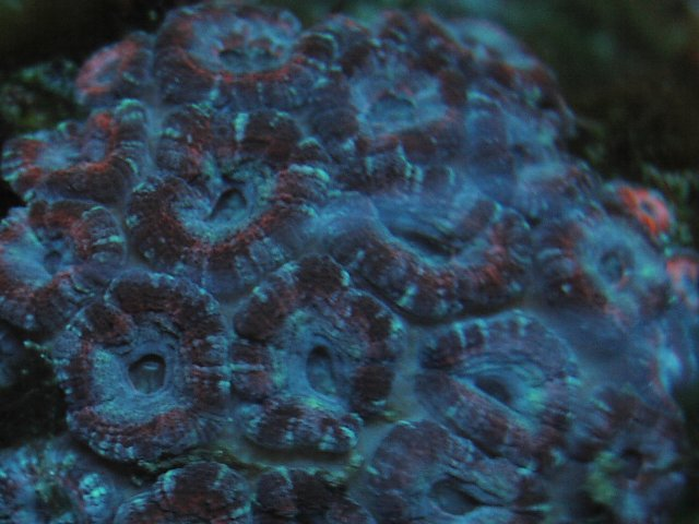 Acanthastrea lordhowensis Purple Spilits BB450