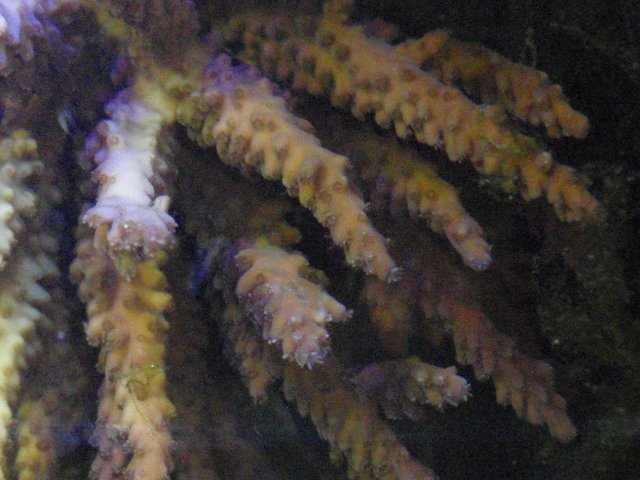 acropora sp. w/o LED