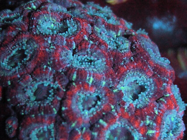 Acanthastrea lordhowensis Purple Spilits UV LED 1 month