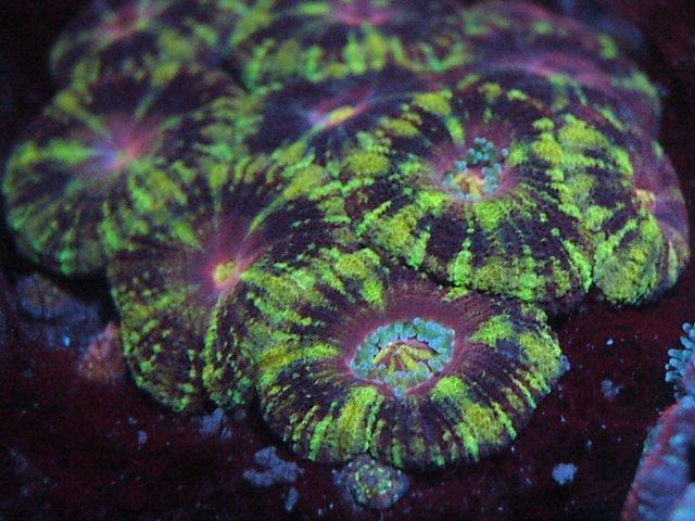 Acanthastrea lordhowensis Green Tiger UV LED 1 month