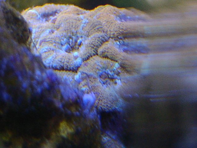 Acanthastrea lordhowensis brown