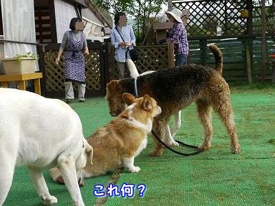 大型犬好き (5)