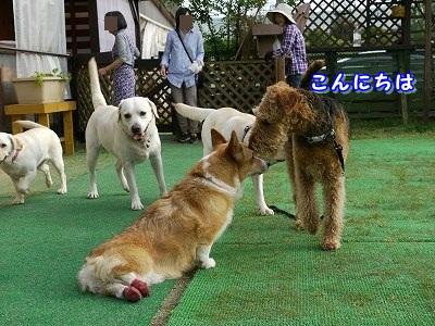 大型犬好き (4)
