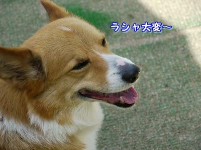 大型犬好き (1)