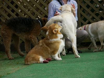 大型犬好き (9)