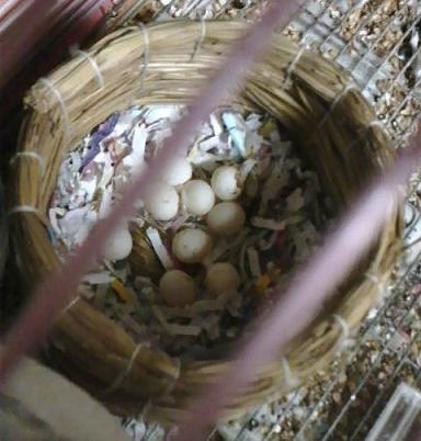 巣の中の卵…