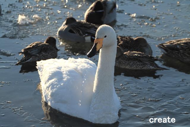 DPP_十勝川の白鳥のしずく0001