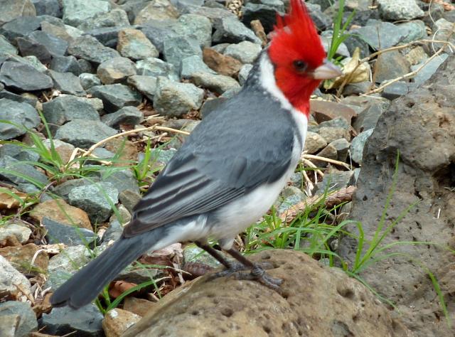 DPP0 668 022 赤い鳥0001