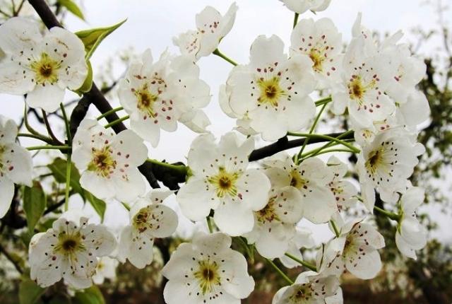 洋県朱鷺観光区のナシの花節01