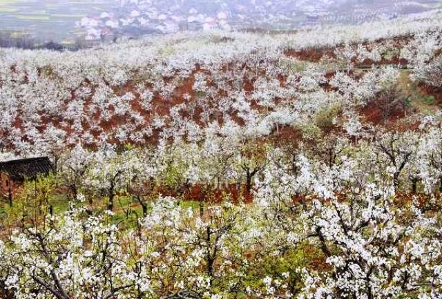 洋県朱鷺観光区のナシの花節06
