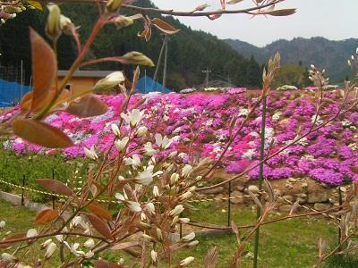 ジューンベリー開花2011