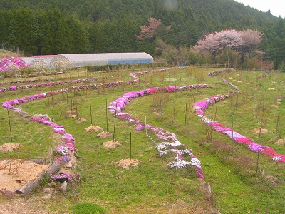 畦の芝桜満開