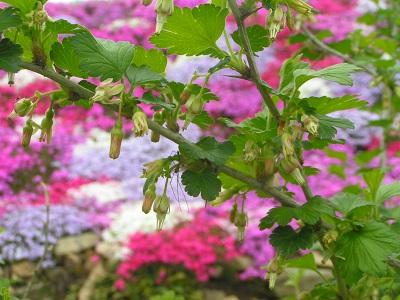グーズベリー開花11