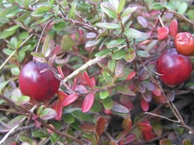 クランベリー収穫2011