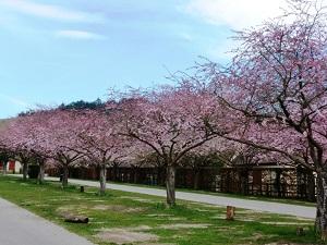 パリの桜1