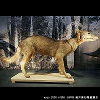 japanese-wolf.jpg