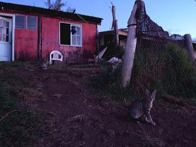 イースター島の猫