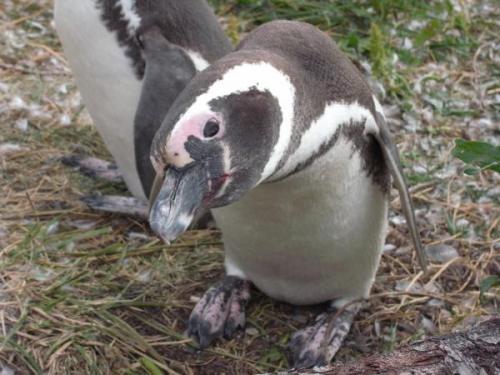 のぞきこみペンギン