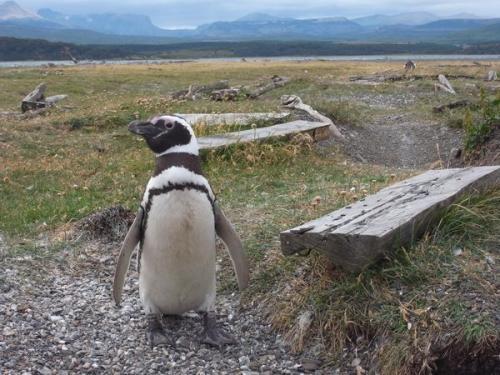 ビーグル水道のペンギン